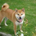 cães e gatos no japão