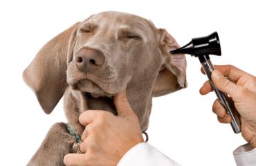 dor de ouvido animal